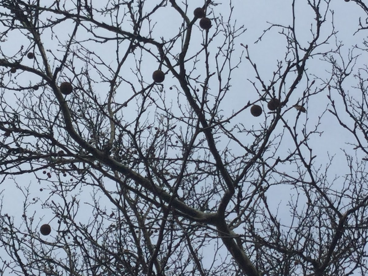 Black walnut