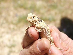 Photo: Horned Lizard - A. Schmeirer