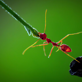 Hard Worker by Dian Anugrah - Animals Other ( ant, makro )