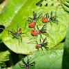 Nymphs of Cogwheel Assassin Bug