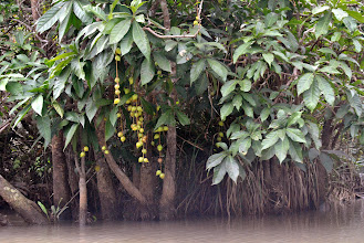 Photo: frutti velenosi