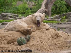 Photo: Und muede ist Knut sowieso noch ;-)