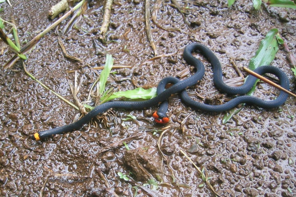 Andean Blackback Coral Snake