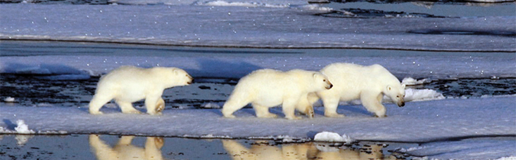 Polar bears encountered on an expedition cruise in Alaska.