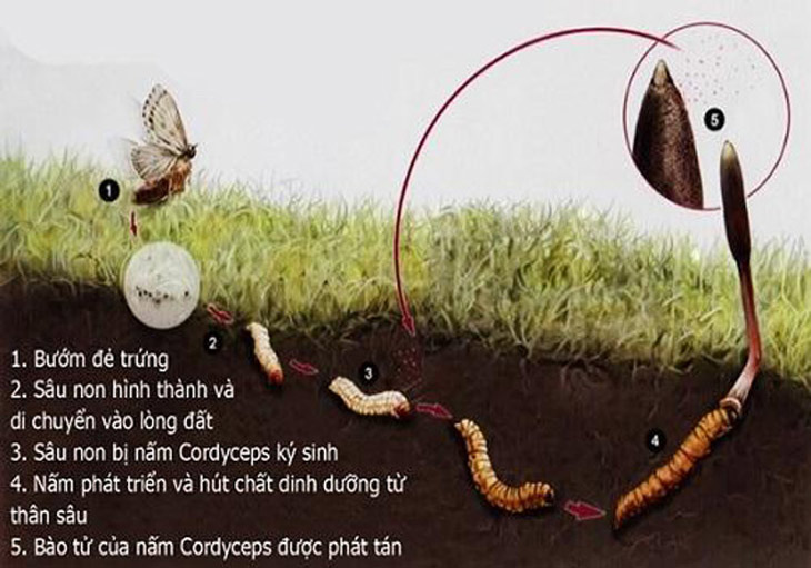 Đông trùng hạ thảo có nguồn gốc từ một loại nấm ký sinh trong sâu bướm
