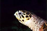 Photo: Tortue à Kani aux Maldives