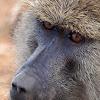 Babuino (Olive baboon)