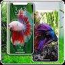download Wallpaper Beautiful Betta Fish (Ikan Cupang) apk