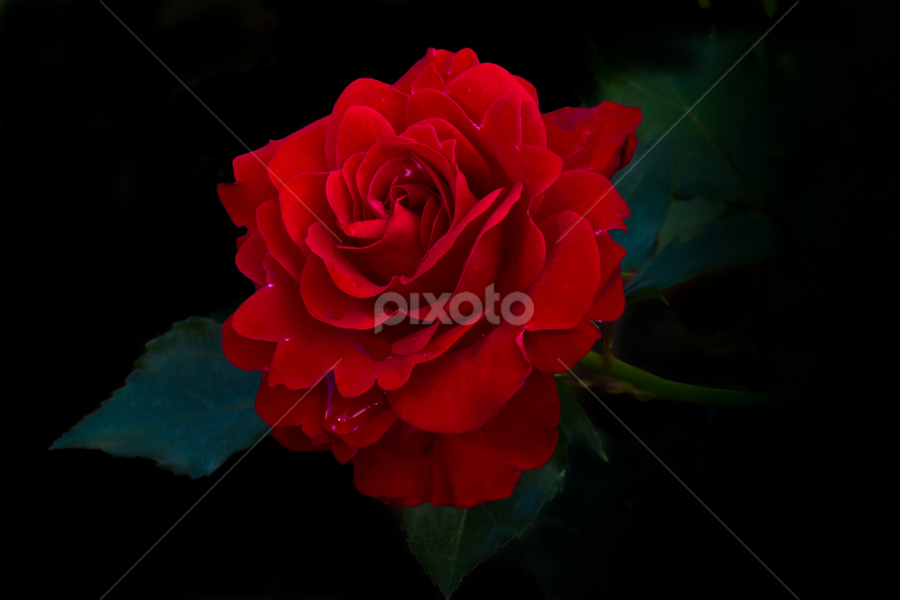 Red Rose by Merina Tjen - Lim - Landscapes Beaches ( rose, red )