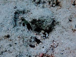 Photo: Cyrptocentrus steinitzi (Watchman Shrimp Goby) with Pistol Shrimp, Chindonan Island, Palawan, Philippines.