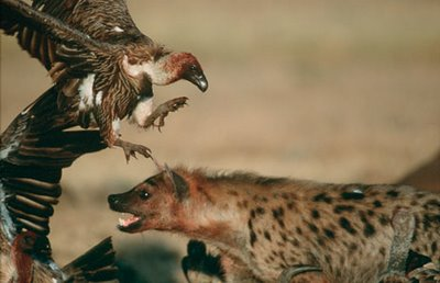 Carniceiros disputando por alimento.