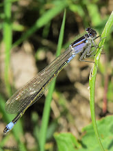 Photo: Blue-tailed Damselfly (Ischnura elegans) My first sighting of a Damselfly this year, not at home but it won't be long hopefully before I start seeing damsels and dragons here!  For#hqspmacro +HQSP Macro curated by +Chandro Ji +Terrie Gray +Sandrine Berjonneau +Didier Caron and#Macro4All by +Bill Urwin, +Thomas Kirchen,  +Walter Soestbergen (+Macro4All ) and #buggyfriday +Buggy Friday Curators +Ray Bilcliff +Dorothy Pugh