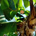 Thelacantha brevispina