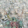 Hoover's Buckwheat