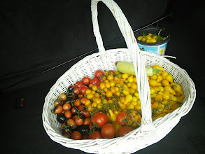 Photo: Lots of tomatoes harvested for Schoolhouse Produce
