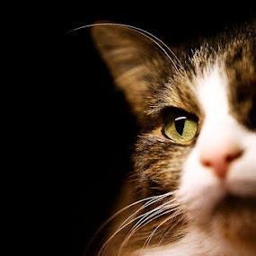 by Ekaterina Kaznacheeva - Animals - Cats Portraits