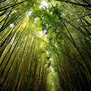 bamboo forest_1.jpg
