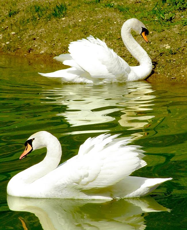 Swans di Angela1964