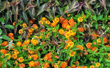 Photo: Lantana camara 'Orange Carpet' RHS gardens Wisley