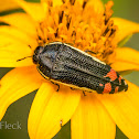 Yellow-margined Flower Buprestid