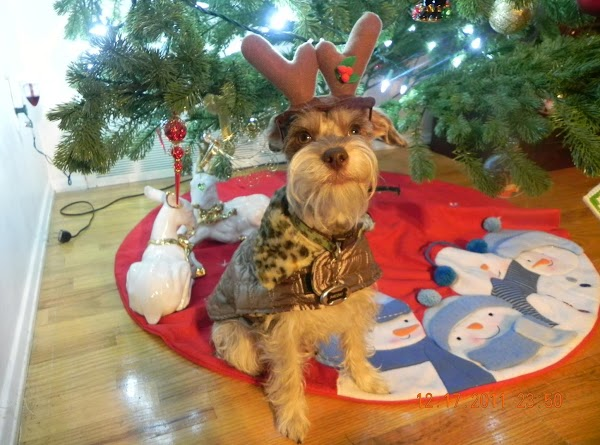 Paczki's Christmas picture for 2011...our little tiny reindeer. hehe