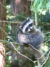 Photo: Dan Carney, an avid owler, climbed up a nearby tree to get this shot of the scared young Racoon that looks like it is hanging on for dear life.