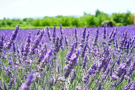 Royalty-Free photo: Purple lavender flower field | PickPik