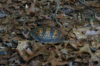 Photo: eastern box turtle (I think)