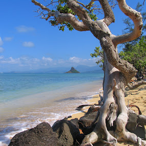 Crooked Hawaiian Tree by Jim DeMicco - Landscapes Beaches ( sky, tree, ocean, beach, landscape )