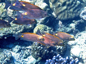 Photo: a school of golden rabbitfish