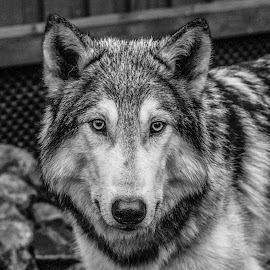 Yukon by Garry Chisholm - Black & White Animals ( nature, canine, wolfdog, susimaa, ranua, finland, garry chisholm )