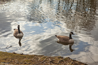 Photo: Geese on the lake at Heaton park.