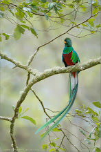 Photo: Resplendent Quetzal Costa Rica Photo tours with Raymond  Thanks for the invite!