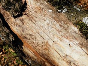Photo: galeries creusées par des parasites sur le tronc d'un arbre