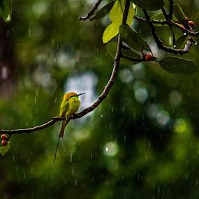 enjoying rain by Suman Mukherjee - Animals Birds ( bird india rain )