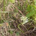 Manyflower Marshpennywort