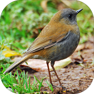 Nightingale Bird Sounds apk