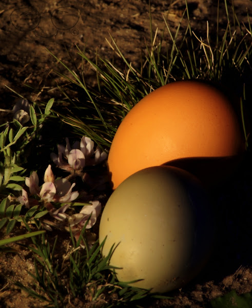 Photo: Chicks are always leaving things laying around. ;-) I have been thinking about doing a small series of photos of chicken eggs. Sounds dumb, right? Well a couple of years ago I did even something dumber, a series of shots on a Red Radio Flyer wagon! There are a few shots still in my albums (yes, I have been on Google's photo sharing webaloosa long before G+) and some of those photos still haunt me today ;-)  Back to the eggs. I have a couple of ideas for a shot or two already. Do you guys do that? Premeditate your shots? If you do, and you are thinking eggs right now, what would you shoot an egg doing? Not that I would steal that idea or anything … :D