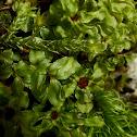 Thyme Moss