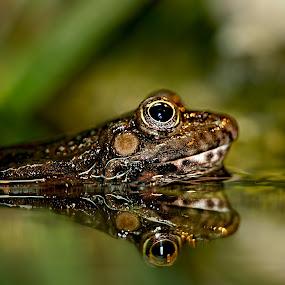 Two eyes by Gérard CHATENET - Animals Amphibians (  )