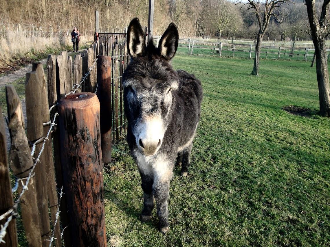 Nieuwsgierige ezel in een wei bij Gronsveld