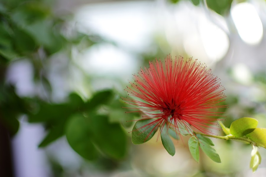 Flower by Irfan J - Nature Up Close Flowers - 2011-2013 ( sweet, red, tree, green, d5200, nikon, flower )