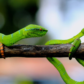 by Zaidan Fikri - Animals Reptiles