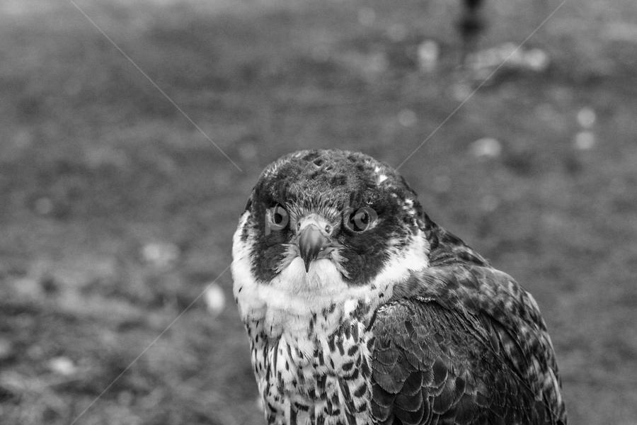 Raptor by Garry Chisholm - Black & White Animals ( raptor, bird of prey, nature, falcon, garry chisholm )