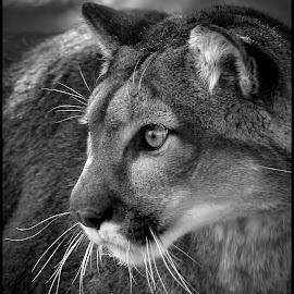 Mountain Lion by Dave Lipchen - Black & White Animals ( mountain lion )