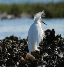 Photo: Snowy Egrets often forage in and around oyster beds. Small fish can easily be caught in the calmness and superb habitat of an oyster bed. Photo by RCR volunteer Stan Rule.