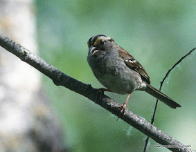 Photo: White-throated Sparrow, Lesser Slave Lake Provincial Park, northern Alberta