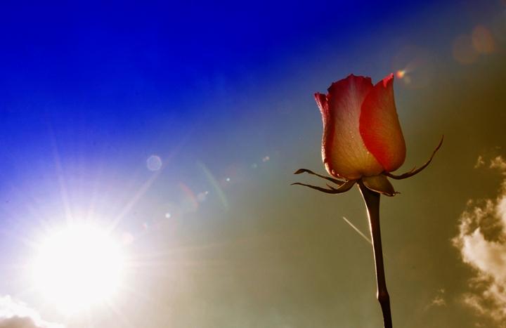 Rosa al tramonto di joeparadise