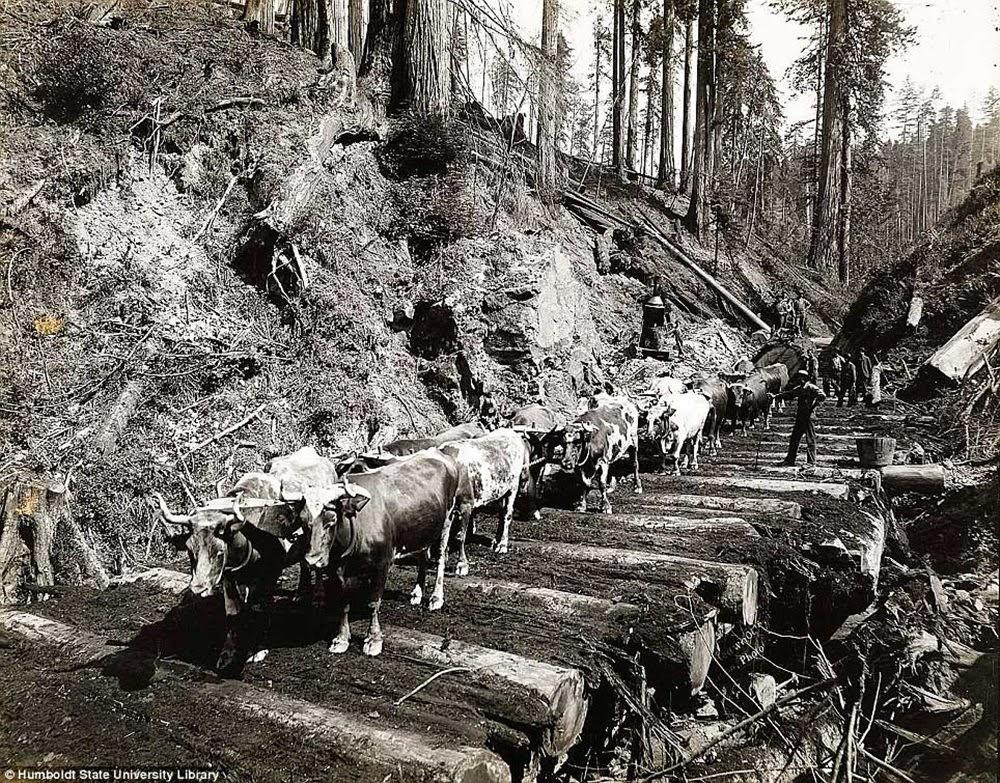 Sequoias, o início da destruição