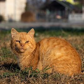 Old yellow cat in the sun by Alen Zita - Animals - Cats Portraits ( croatia, old, cat, animal, sun )